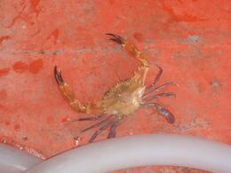 Crab, eva_afta - November 2010