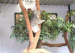 Koala at park on way back from Blue Mountains , Richard E - April 2017