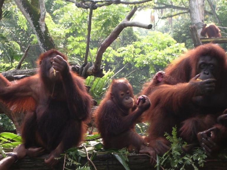 Orangutan family - Singapore