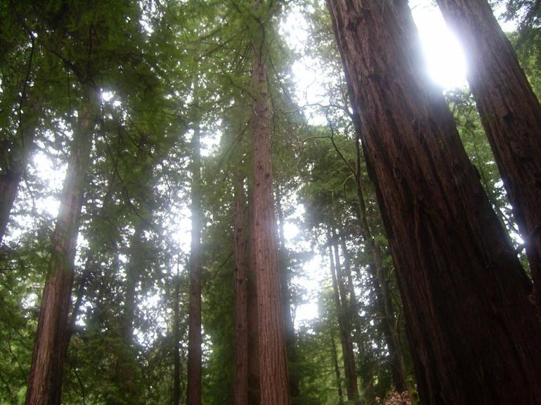 Redwood forest at Muir Woods - San Francisco