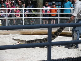 The best gator show - April 2013