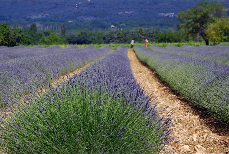 Lavender field - Avignon