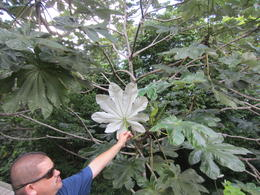 Tour guide Robert showing us about the yagrumo tree, green on top and silver on the bottom , Lisa T - December 2012