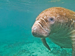One of the many manatees seen on the tour - February 2013