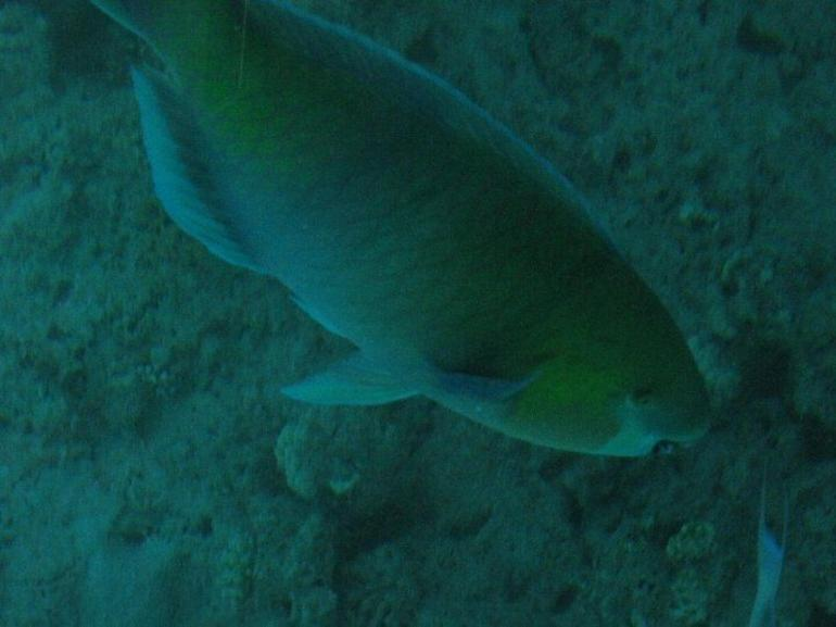Unknown Fish - Sharm el Sheikh