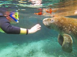 Meet a manatee - February 2013