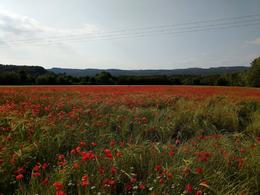 Fields of red poppies are reminders of the losses in WWI , Lynne A - June 2017