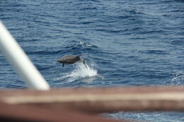 A dolphin entertaining us. This dolphin chased the boat for a good 15 minutes and created a lot of excitement on board. , Leonard J - May 2013