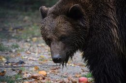 Photo of Bear from my visit to the Bear Sanctuary. , Winter F - December 2015