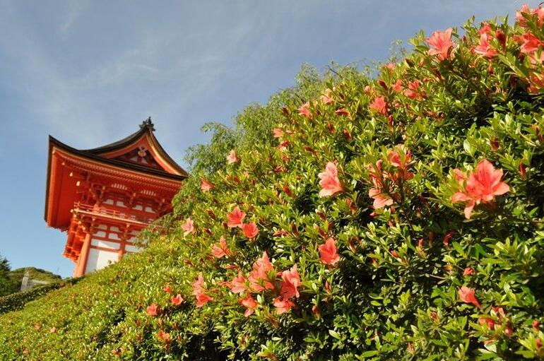 beautiful azalea in orange at Kiyomizu temple - Kyoto