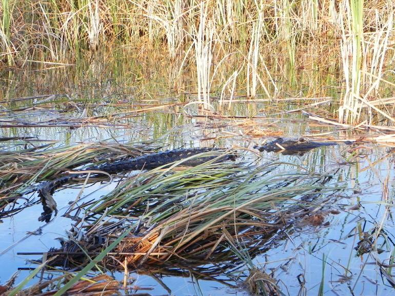 floride-les-everglades-alligator