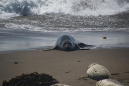 Elephant seal emerging from the water. , Genevieve P - September 2014