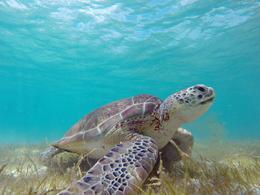 Sea Turtle in Akumal , Melanie T - August 2016