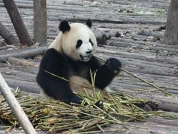 I have to eat all this bamboo before the sun comes out and makes me too hot to concentrate! , C J H - July 2014