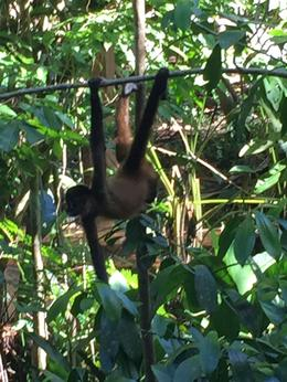 Spider monkey at Tortuguero eating his lunch after we finished ours. , Jason B - December 2016