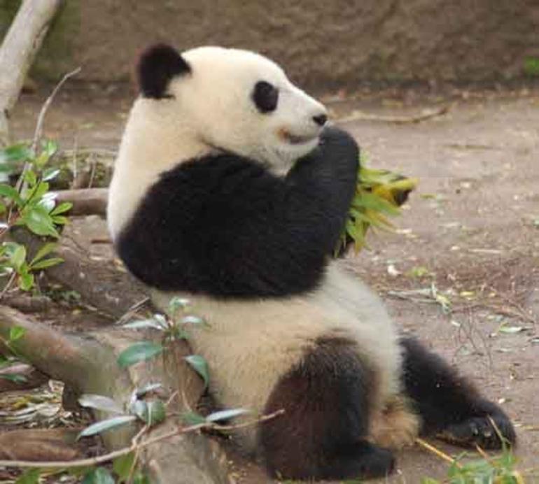 Giant Panda - San Diego
