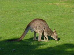Kangaroo on a sunny day in early spring , John K - September 2014