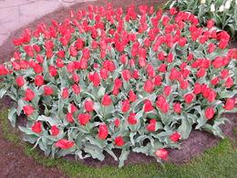 Un des nombreux par terres de tulipes, ici une couleur. , Fabrice D - May 2015