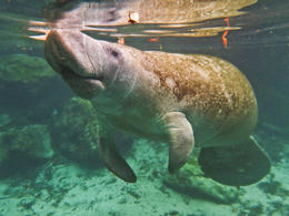 A manatee near the surface - February 2013