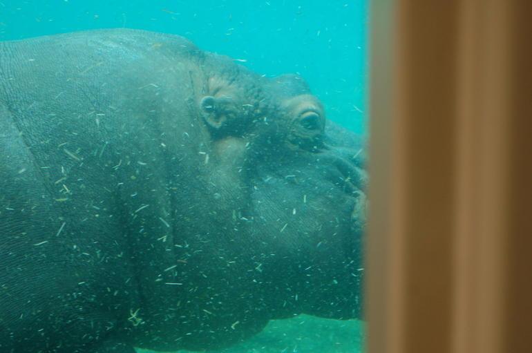 Hippopotamus - San Diego