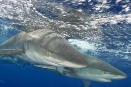 Close-up of a shark on the dive., ROD C - January 2009