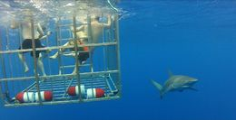 Sharks swimming around our cage, so amazing, Erik - October 2015