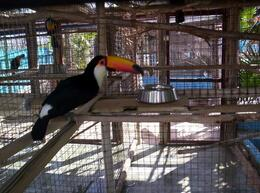 A not-so-curious toucan - June 2008