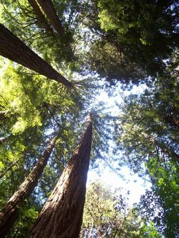 Looking up the trees in Muir Woods, Dolores C - July 2009