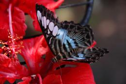 Blue butterfly, Butterfly Reserve, Kuala Lumpur - July 2011
