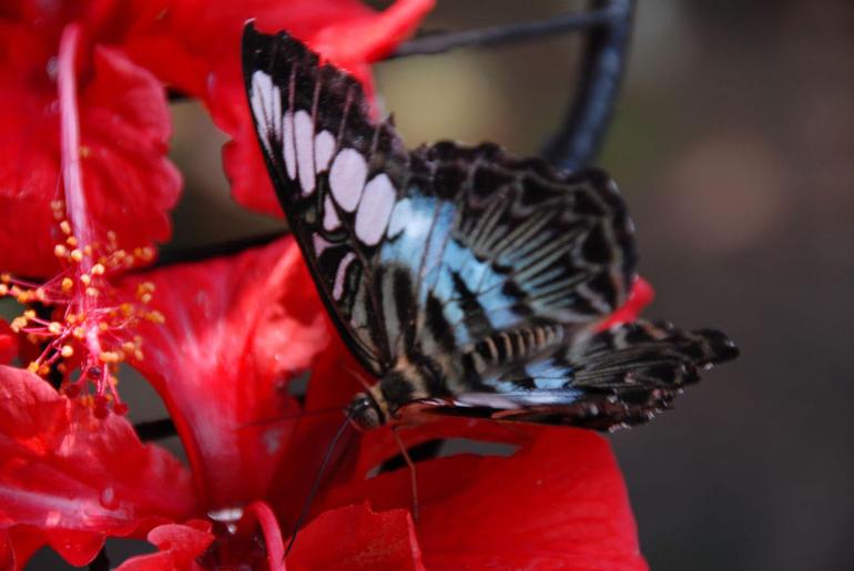 Blue butterfly, Butterfly Reserve, Kuala Lumpur - Kuala Lumpur