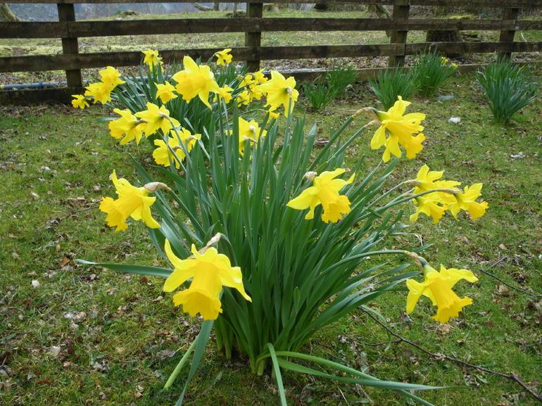 Daffodils - Edinburgh