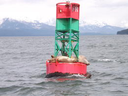 Sea Lions hanging out in the Alaskan sun. You are guaranteed to see these guys! , David W - June 2012