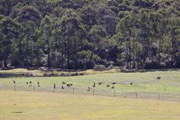 Because this was on a small tour bus, the driver took us off the highway onto small, gravel backroads in the Blue Mountains to areas he knew we had a chance to see wild animals. Luckily, we saw these..., Walter L - May 2010