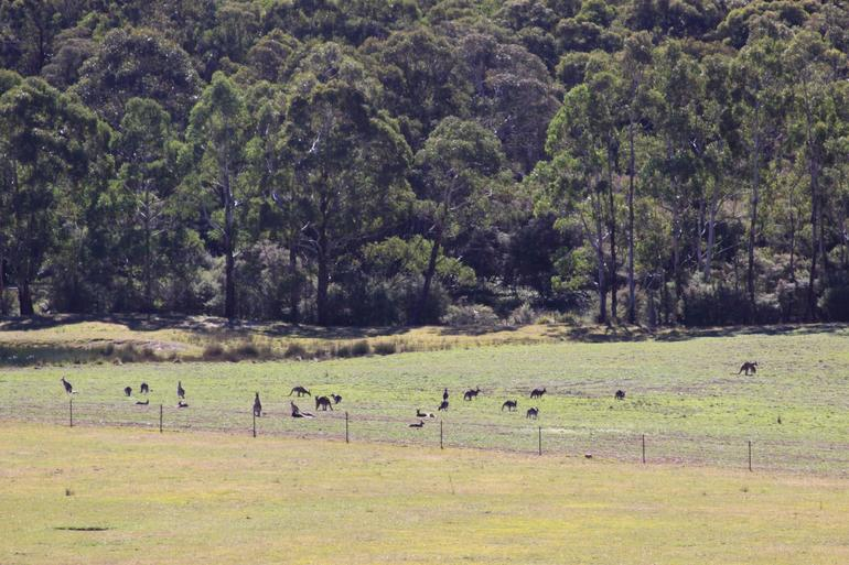 Wild Kangaroos - Sydney