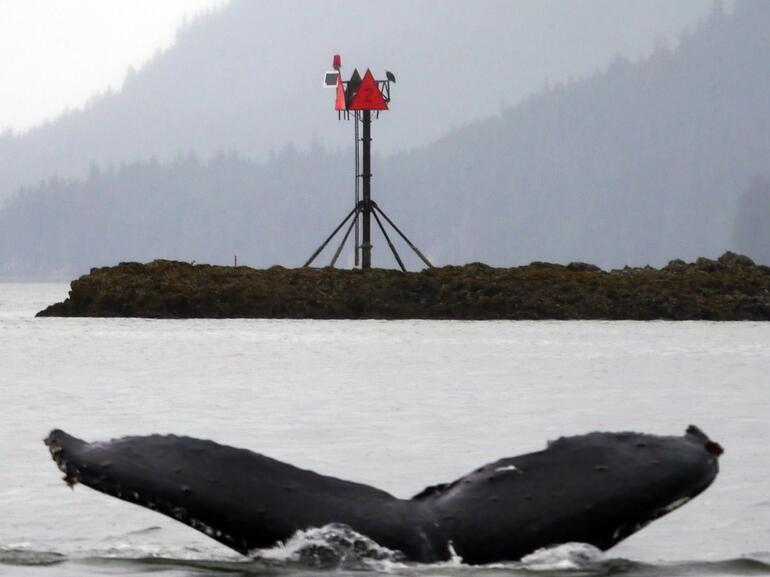 Humpback Whale Tail (diving) - Juneau