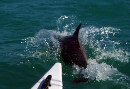 Sometimes the dolphins got really close to the catamaran! - June 2013