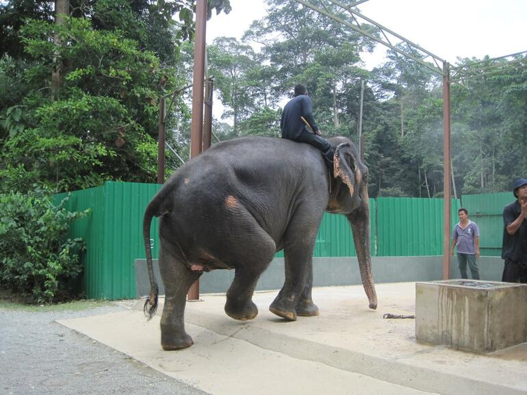 The feeding of all large elephant - Kuala Lumpur