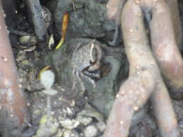 the little crabs were everywhere - here at the Mangrove roots at the launch , Michelle M - June 2017