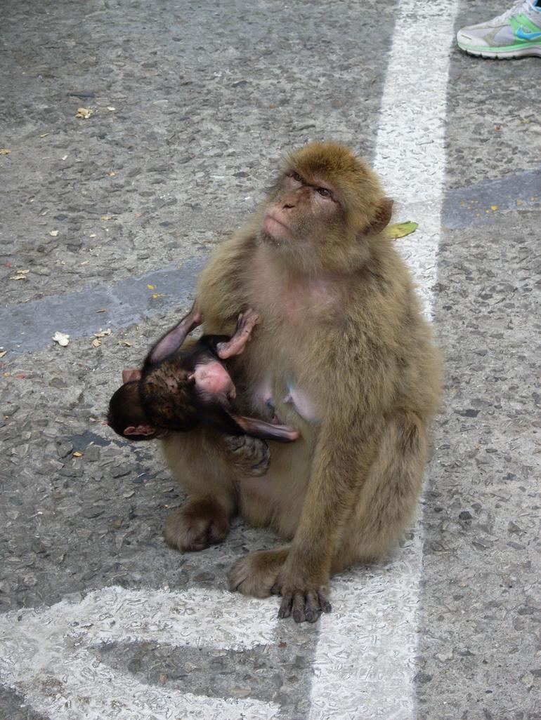 Barbary Ape - Costa del Sol