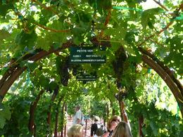 This was the demonstration vineyard at Kunde where you could try the grapes as well as the wine!, Jon C - September 2010