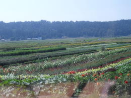 Fabulous flower farms. I wish I could bring some flowers home! , Eva P - September 2011
