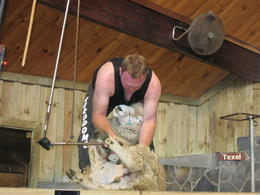 Sheep shearing display which was followed by sheep dog trials , Daisy Gos - April 2014