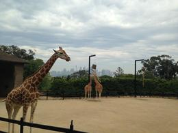 Giraffes at Taronga Zoo , Kierrra - November 2013
