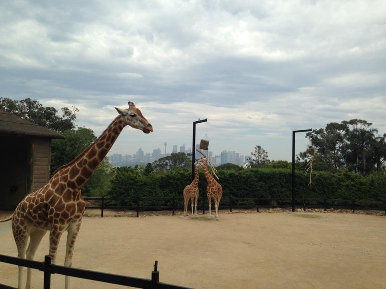 taronga-zoo-girafes-excursion