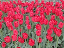 Tulip Garden , Krishnan Vaitheeswaran - May 2011
