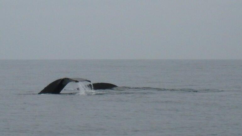 Following the humpbacks - San Francisco