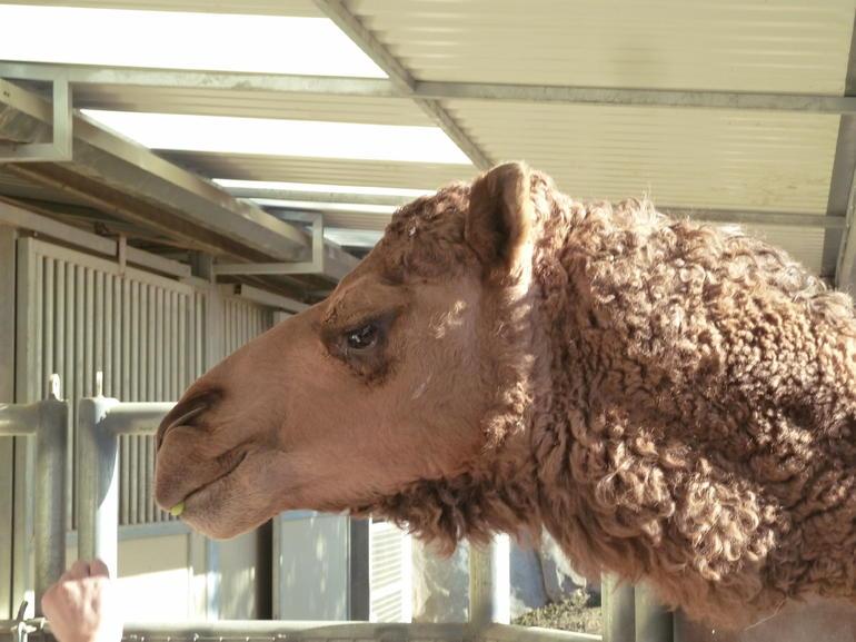 A Camel - San Diego