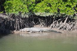 Stumpy the crocodile , Navanga W - August 2016