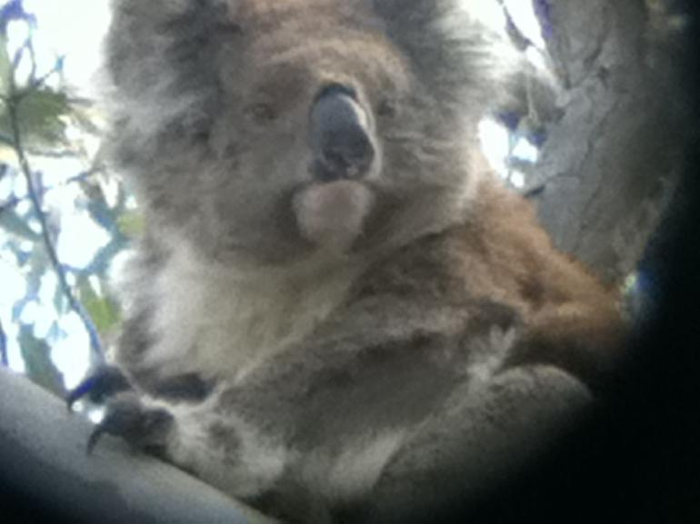 koala-dans-le-parc-national-melbourne-excursion