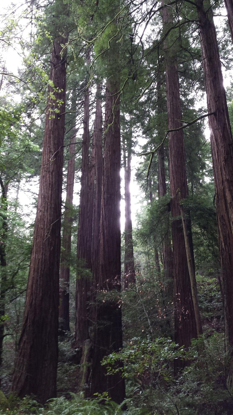 Redwoods - San Francisco